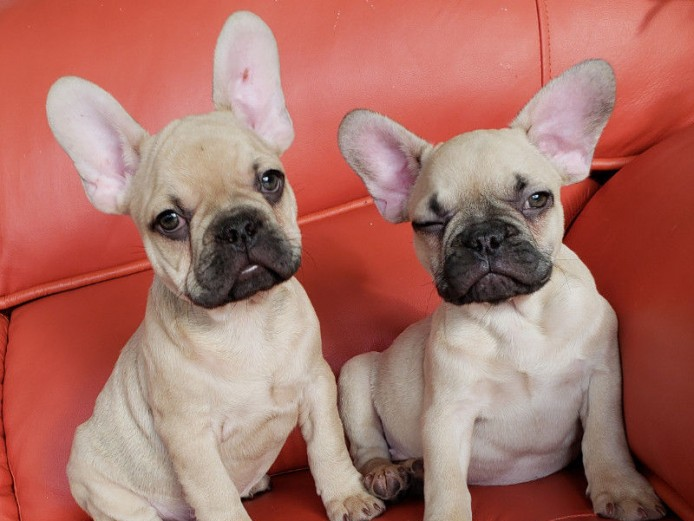 Adorable Loving French Bulldogs  for new homes