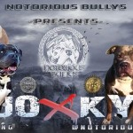 ABKC REG XL American Bully Pups