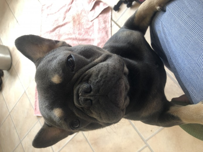 BLACK AND TAN FrenchBulldogs for sale