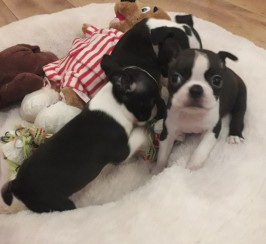 Kc registered Boston terrier