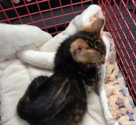 Female marble pedigree bengal kitten