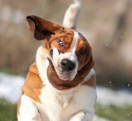 Outstanding Quality Basset Hound At Stud