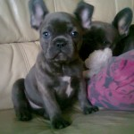 Quality Blue And Fawn and White French Bulldog Puppies for Sale