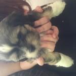 Chihuahua/Pomerianian x Shitzu Puppies