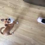 Chug puppy 18 weeks old