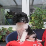 Springer x Miniature Poodle