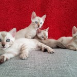 Beautiful TICA registered snow lynx Bengal kittens