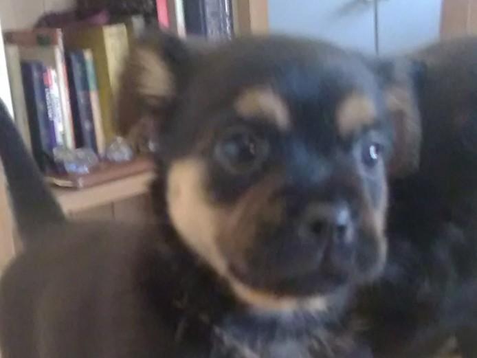 Pug border terrier x Yorkshire terrier