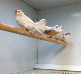 BROWN OR WHITE ZEBRA FINCHES FOR SALE