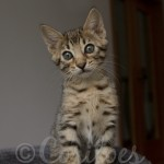 F5 Registered Health Guaranteed Bengal Kitten