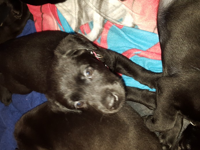 7 Black KC registered Labrador puppies