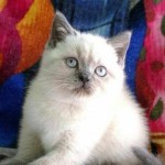 Kittens for sale BSH colourpoint blue point