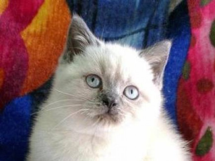 Kittens for sale BSH colourpoint blue point