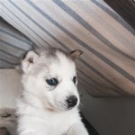 Siberian Husky puppies Ready for adoption