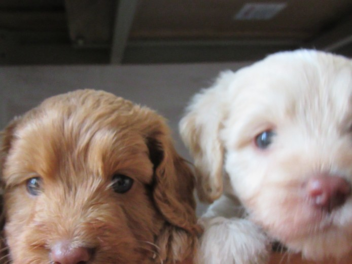 Cockapoo F1 Puppies