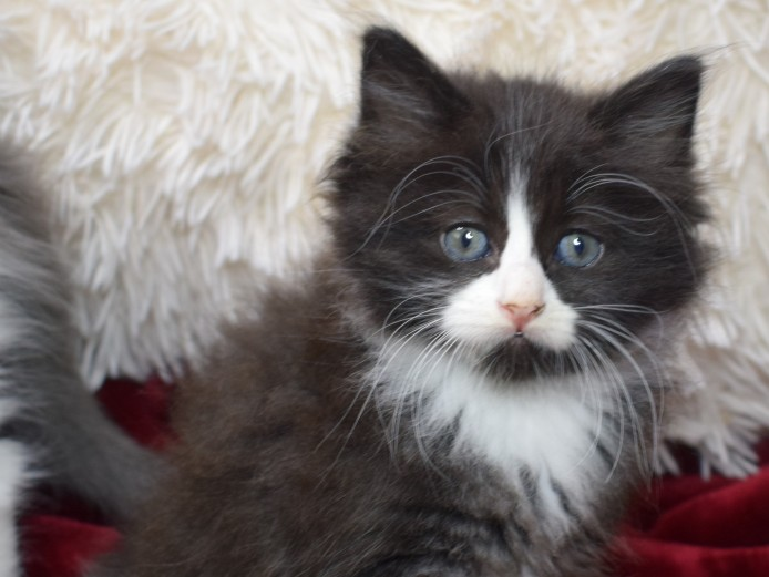 3 Adorable Ragdoll X Persian Kittens