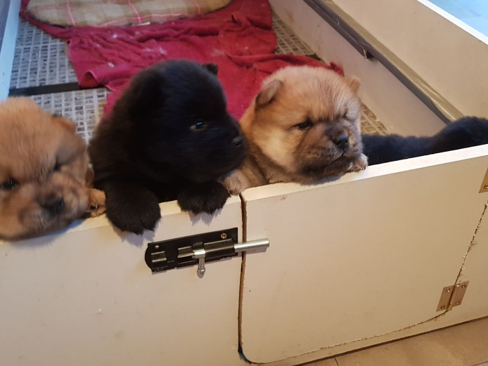 Adorable chow chow puppies