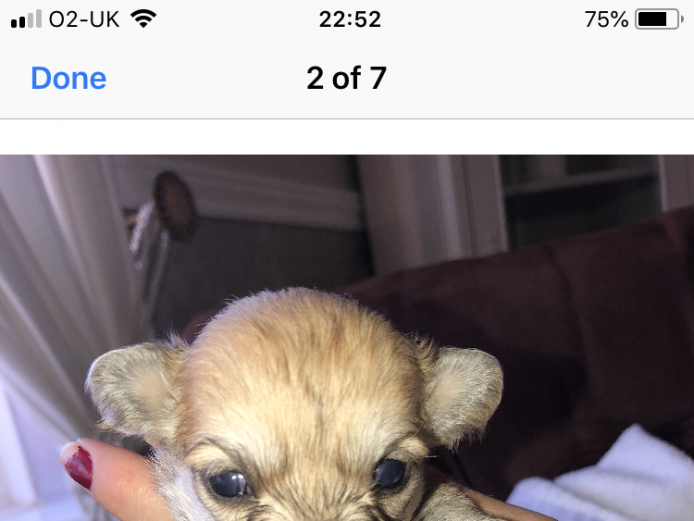 2 male chihuahua puppies ready to leave mum 6th November