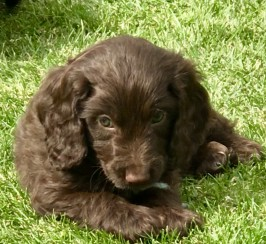 Beautiful F1 Cockapoo Puppies