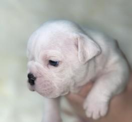 Pets for Sale - English Bulldog puppies