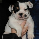 PLATINUM TRI Males And Females English Bulldog Puppies