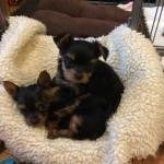 Full Pedigree Beautiful Tiny Yorkies Babies Available Now