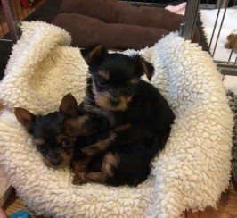 Full Pedigree Beautiful Tiny Yorkies Babies Available Now