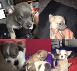5 adorable chihuahuas