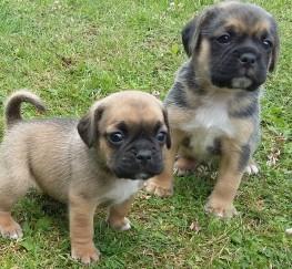 Pets  - Puggle puppies