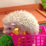beautiful friendly african pygmy hedgehog babies for sale
