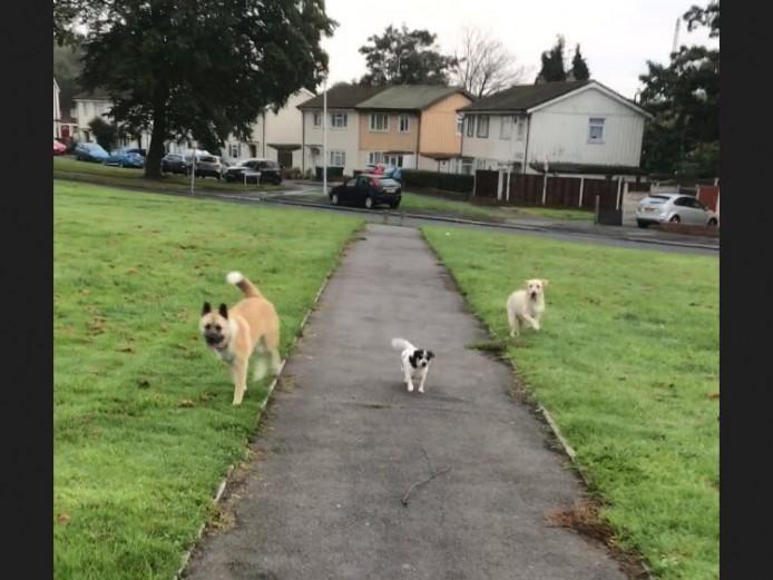 British Bulldogs Puppies Kc Reg
