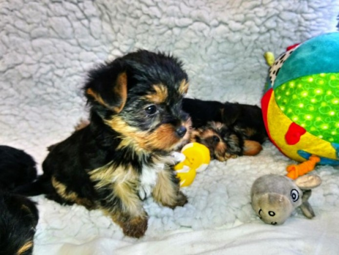 Yorkshire Terrier Pups / Ready Now