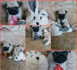 5 Beautiful Pugs