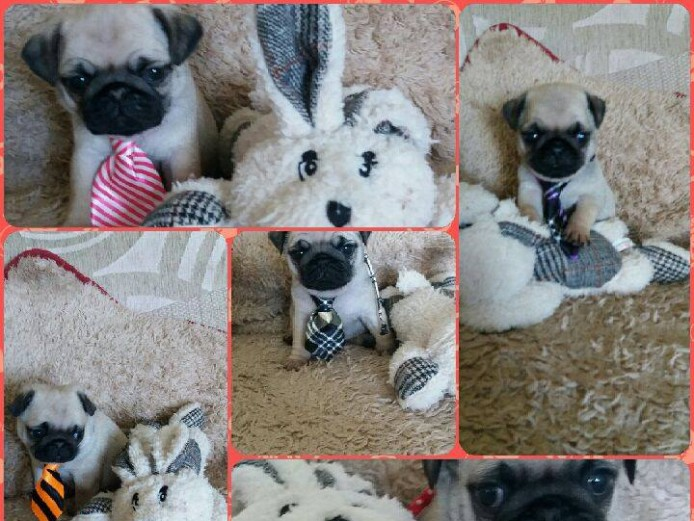 4 Beautiful Pugs