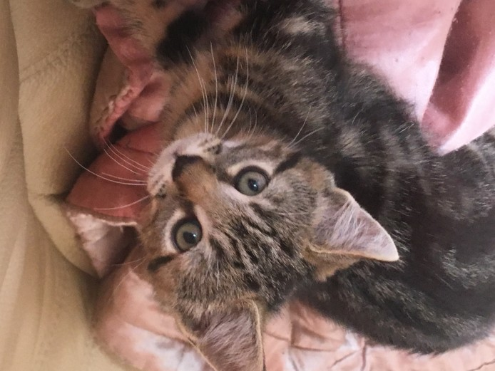 Two Gorgeous part Maine Coon Tabby Kittens