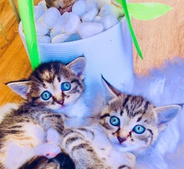 Enchanting Siberian Forest x Bengal Hypoallergenic Kittens For Sale