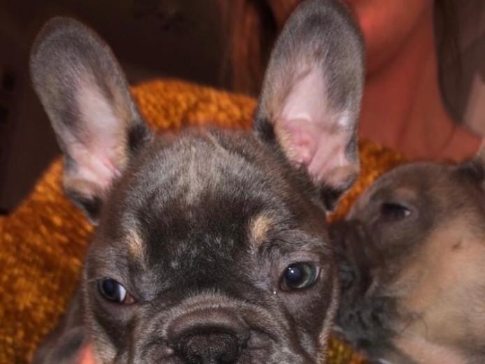Beautiful frenchbulldog puppies