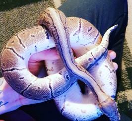 Gorgeous Male Pinstripe Python with Set Up
