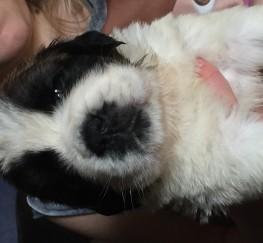 Pets  - Kc St. Bernard pups