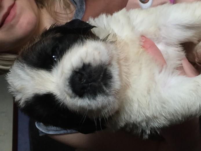 Kc St. Bernard pups