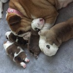 Champion line bulldog pups