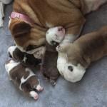 Champion line bulldog pups