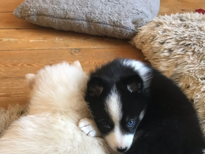 Pomsky f2 Puppies
