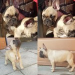 Kc French bulldog pups for sale