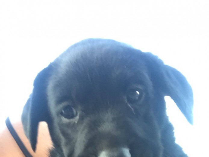 Kc reg Labrador puppies