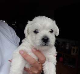Pets  - Stunning Westie/Maltese pups