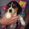 Pets  - Beautiful Tri Coloured Beagle Puppies For Sale