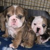 Pets  - English Bulldog puppies MERLE chocolate TAN