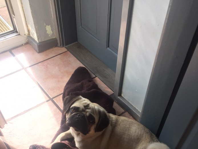Gorgeous chunky male pug for sale