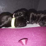 Full kennl club pug puppys  2 female